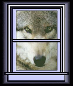Moose, a wolf from Wolf Haven, looking through the window